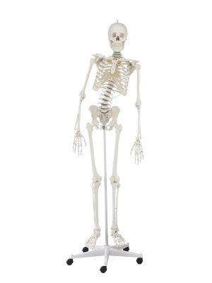 skelett_hugo_mit_beweglicher_wirbelsaeule