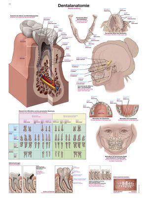 lehrtafel_dentalanatomie_50x70cm