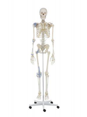 skelett_otto_mit_bandapparat