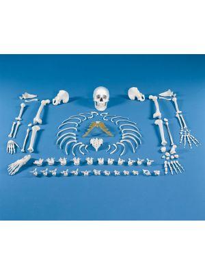 skelett_unmontiert_knochensammlung