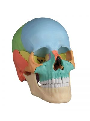 osteopathieschaedelmodell_22teilig_didaktische_ausfuehrung